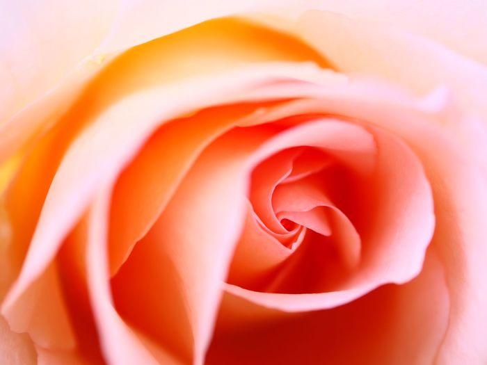 Pink Orange ピンクオレンジ Macro Flower Flowering Plant Beauty In Nature Rosé Petal Close-up Flower Head Freshness Softness Extreme Close-up Rose - Flower Fragility