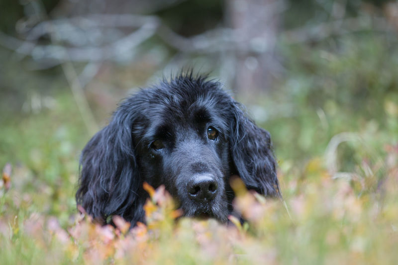 Animal Themes Black Color Blur Close-up Day Dog Domestic Animals Flat Coated Retriever Looking At Camera Mammal Nature No People One Animal Outdoors Pets Portrait