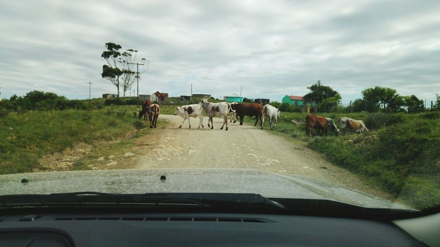 Cows on road against sky