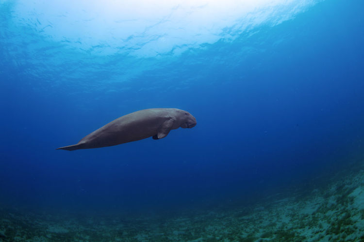 Egypt Seacow Animal Themes Animal Wildlife Animals In The Wild Beauty In Nature Dugong Marsh Alam Nature No People One Animal Outdoors Sea Sea Life UnderSea Underwater Underwater Photography Water