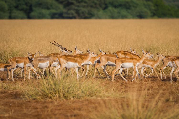 Antelopes walking on grassy field
