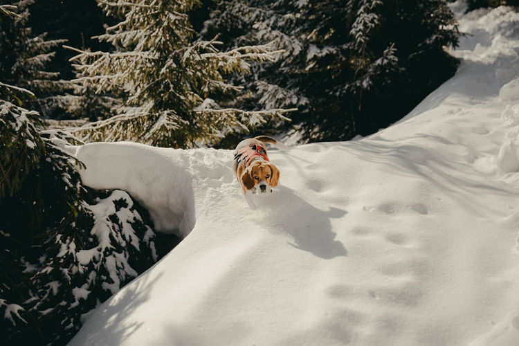 High angle view of beagle dog on snow covered land