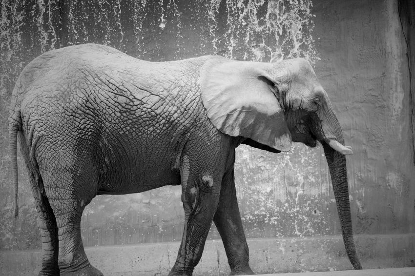 Blackandwhite Black And White Black & White EyeEm Best Shots - Black + White Scenics Beauty In Nature Waterfall Falling Water Falling Motion Portrait Animal Photography Animal Portrait Profile View African Elephant BIG EyeEm Best Shots EyeEm Nature Lover Zoology Zoo Animals  Animal Behavior Water Drop Drops Of Water Flowing Water Outdoor Photography Animal Elephant Animal Themes Animal Wildlife Mammal Vertebrate Animals In The Wild Animal Trunk Side View Standing One Animal Animal Body Part No People Nature Water Zoo Animals In Captivity Day Tusk Outdoors Herbivorous