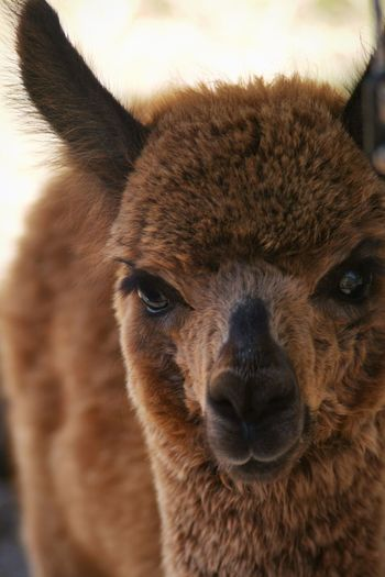Cria Alpaca Animal Themes Animal One Animal Mammal Close-up Animal Body Part Domestic Animals Pets Animal Head  Portrait Vertebrate No People Brown Domestic Looking At Camera Focus On Foreground
