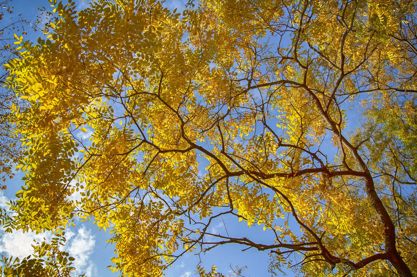 Autumn Colors Autumn Autumn Collection Beauty In Nature Branch Change Clear Sky Day Fall Growth Leaf Low Angle View Natural Condition Nature No People Outdoors Plant Sky Sunlight Tranquility Tree Tree Canopy  Yellow