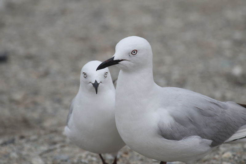 Animal Wildlife Animals In The Wild Close-up Couple Focus On Foreground In Love Nature Outdoors Seagulls On The Ground
