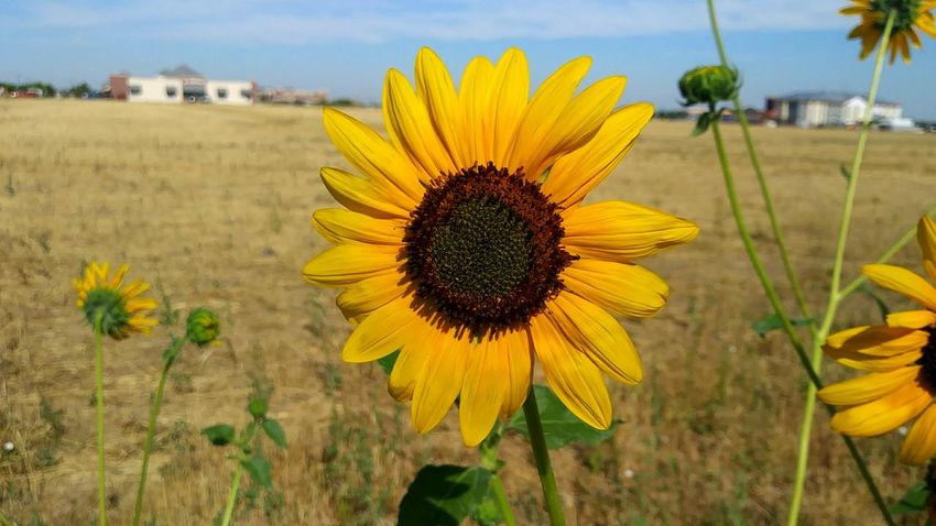 EyeEm Selects Summer Daze Flower Yellow Plant Flower Head Nature Growth Petal Beauty In Nature Outdoors Sunflower Field Day Fragility Focus On Foreground Freshness Close-up Rural Scene Tranquility No People Sky Flower_Collection Multi Colored Nature_ Collection  Object Photography