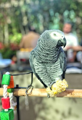 Close-up of parrot perching on table