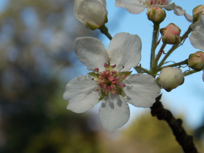 Almond Blossom Almond Blossom Buds In Bloom Freshness Nature Nature Photography Spring Has Arrived Almond Blossoms Beauty In Nature Bloom Blooming Blooming In Spring Blossom Bud Buds On Branches Flower Flower Collection Flower Head Focus On Foreground Growth Nature_collection Petal Spring Flower Spring Flowers Springtime White Flower