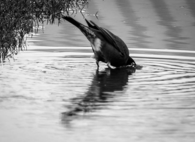 I am feeling black and white Animal Photography Animal Themes Animals In The Wild Bird Bird Photography Bird Watching Birdfreaks Birds Birds Of EyeEm  Birds_collection Birdsofinstagram Birds🐦⛅ Birdwatching Black & White Black And White Black And White Collection  Black And White Photography Blackandwhite Blackandwhite Photography Blackandwhitephotography Nikonphotography Wildlife & Nature Wildlife Photography Wildlife Photos Wildlifephotography