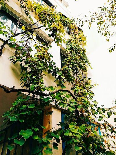 Виноград гуляю одна природа осенью гуляйтамгдекрасиво ♡