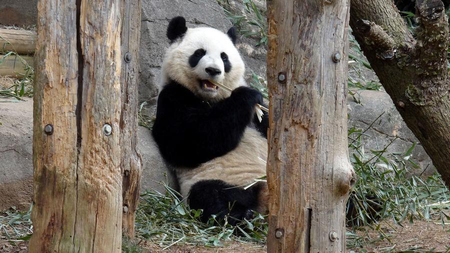 Panda on tree stump