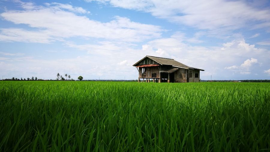 Malay tradisional house Green Paddyfields Blue Sky Irrigation Equipment Rice Paddy Food Staple Cereal Plant Farmer Rural Scene Agriculture Rice - Cereal Plant Asian Style Conical Hat Field Skylight