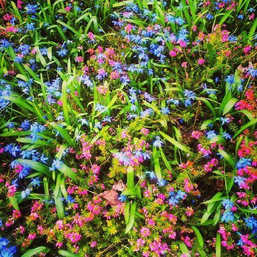 Kingsheathpark Flowerbeds Spring Spring2014 Springwalk Pink Blue Green