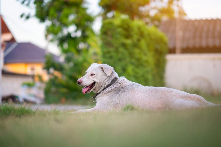 Thai dog lying on the green grass waiting for something Domestic One Animal Canine Dog Pets Domestic Animals Animal Themes Mammal Animal Plant Day Looking Vertebrate Grass Labrador Retriever Retriever Looking Away Focus On Foreground Nature Selective Focus No People Outdoors Weimaraner