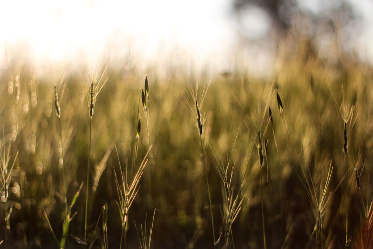 Agriculture Beauty In Nature Cereal Plant Close-up Crop  Day Farm Field Focus On Foreground Growth Land Landscape Nature No People Outdoors Plant Rural Scene Selective Focus Stalk Tranquility Wheat