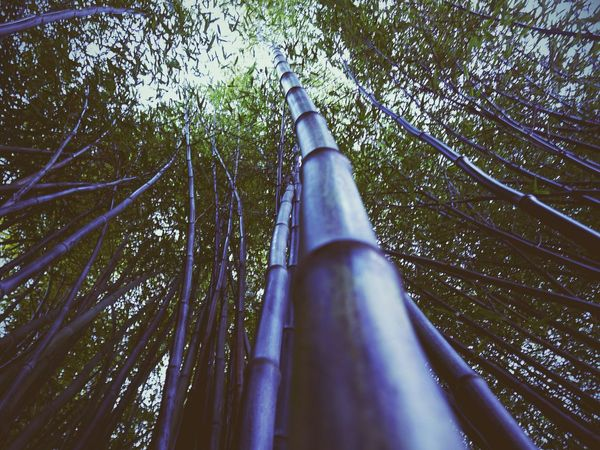 Lookingup Bamboo Canopy