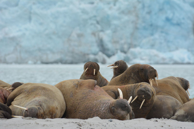 Group Of Animals Animal Animal Themes Mammal Animals In The Wild Animal Wildlife Water Vertebrate Large Group Of Animals Cold Temperature Relaxation Winter Snow Nature Day No People Sea Underwater Outdoors Marine Walrus Walrus Tusk Hlacier Indoors  Arctic Arctic Circle Tusk