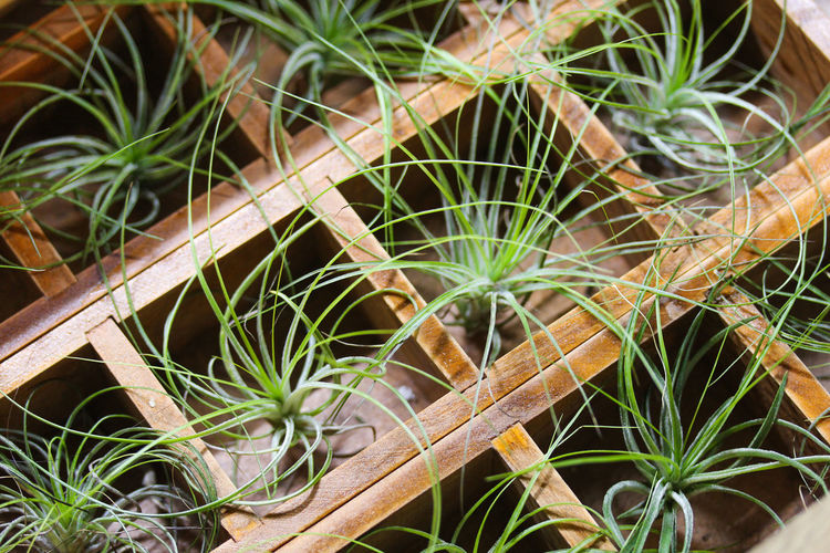 Tillandsia Air Pineapple Bromeliaceae Bromeliaceae Tillandsia Close-up Commodity Focus On Foreground Houseplant Houseplants Lattice Nature No People Outdoors Pineapple Plant Regular Succulent Plants Succulent Plants Tillandsia Wooden Lattice