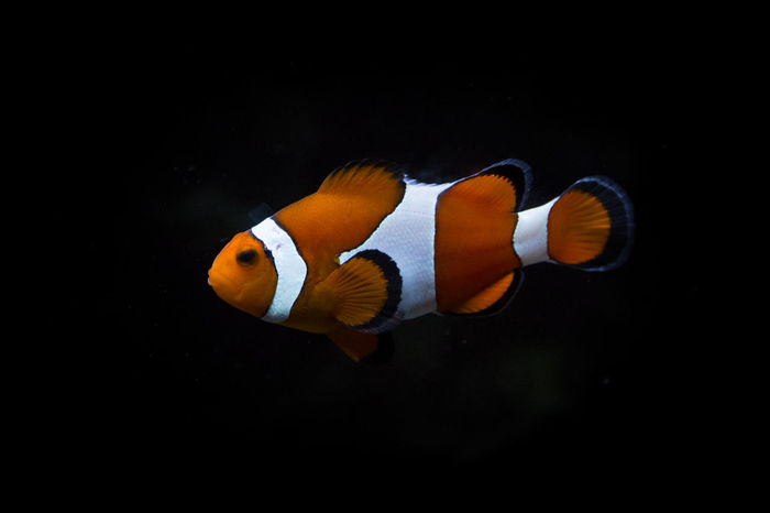 Beauty In Nature Black Background Blue Close-up Clownfish Finding Nemo Fish Fishing Multi Colored Nature No People Orange Color Outdoors Pixar  SCUBA Scuba Diving Sea Life Tranquility Underwater Wildlife