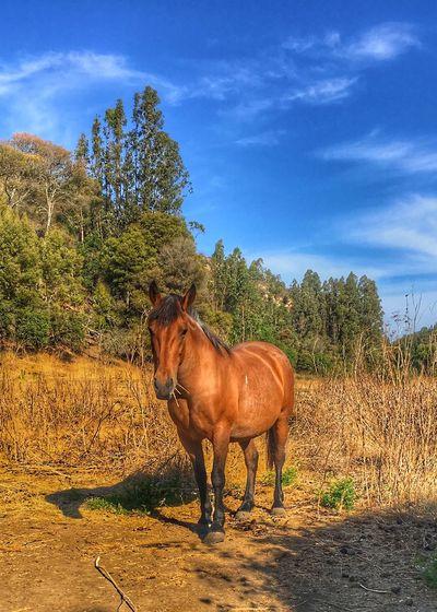 Horse Caballo