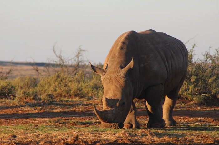Beauty In Nature Big Five Endangered Animals Endangered Species Field Grassy Grazing Herbivorous Horned Landscape Mammal Nature Outdoors Protected Rhinoceros Rhinos Standing Still Life