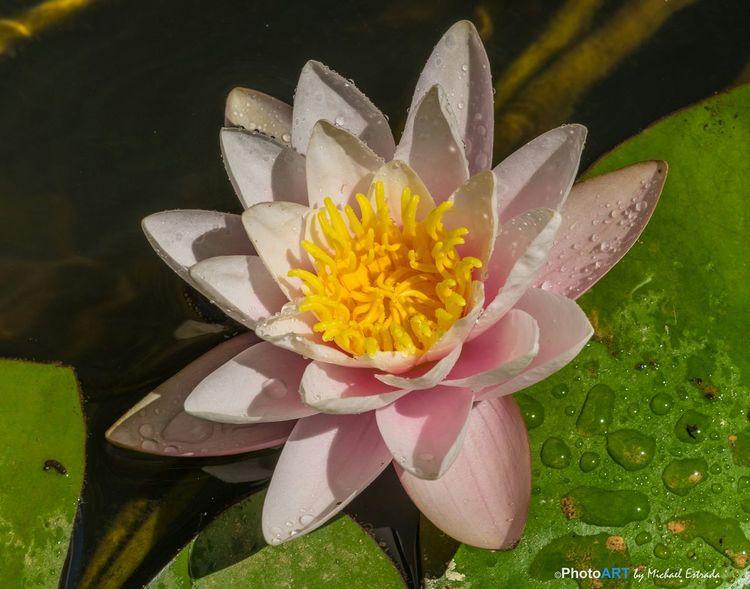 Water Lily 🌸 Water Garden  Garden Nature Flowers Macro_collection Macro Flowerporn Water Lily Water Lilies
