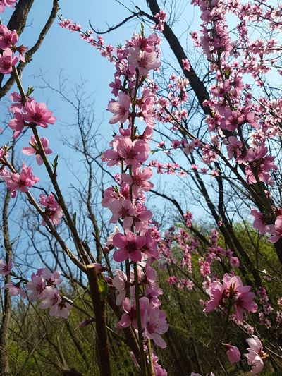 Beauty In Nature Pink Color Freshness Nature Flower Blossom Branch No People Fragility Close-up Flower Head Springtime Outdoors Growth Sky Nature_collection Nature_perfection Flowers, Nature And Beauty Flowers_collection Blooming Petal