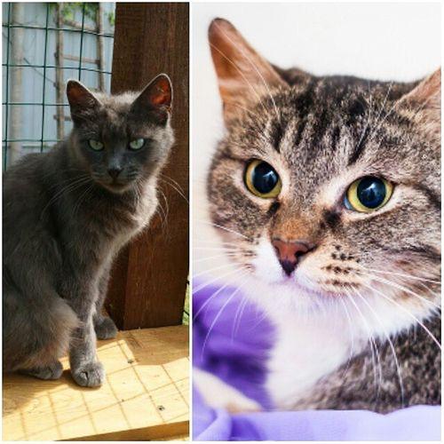Tshaga und Wassilita aus Russland. Wenn alles glatt läuft, werden wir am 07.12. Katzeneltern. Die beiden sind 3-4 Jahre alt, Freundinnen und sehr lieb. Wassilita hat keinen Schwanz mehr, aber davon abgesehen sind sie kerngesund und munter 😍 Tshaga_the_cat Wassilita_the_cat