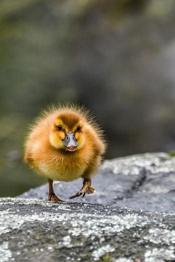 Portrait of a little cute duck