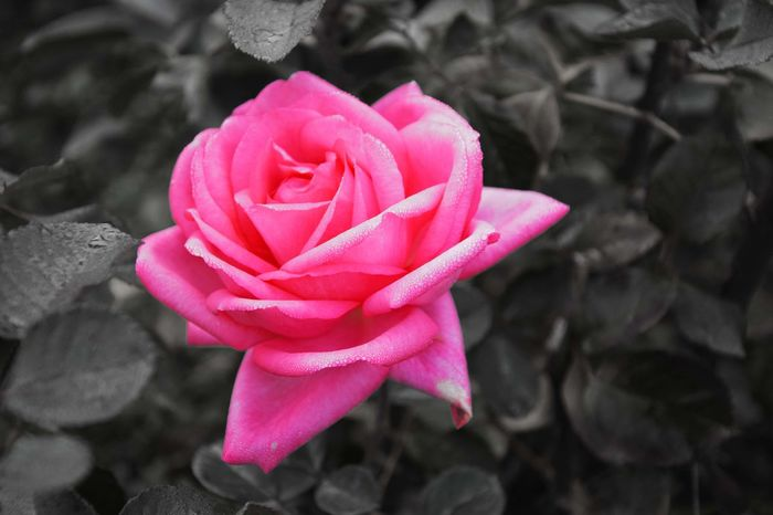 The pink rose Beauty In Nature Flower Flower Head Nature Pink Color Color Playing With Colours Plant Rosé Rose - Flower Single Rose Softness First Eyeem Photo Showcase June Fine Art Photography Colour Of Life