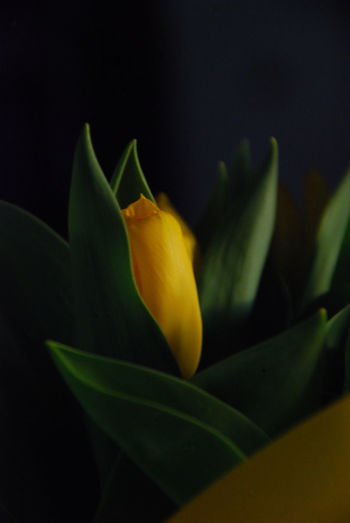 Awakening Beauty In Nature Close-up East Flower Flower Head Flowers,Plants & Garden Fragility Freshness Growth Holidays Nature No People Outdoors Petal Plants Renewal  Resurection Spring Springtime Springtimeblooms Tulips Yellow Flower Yellow Flowers Yellow Tulips