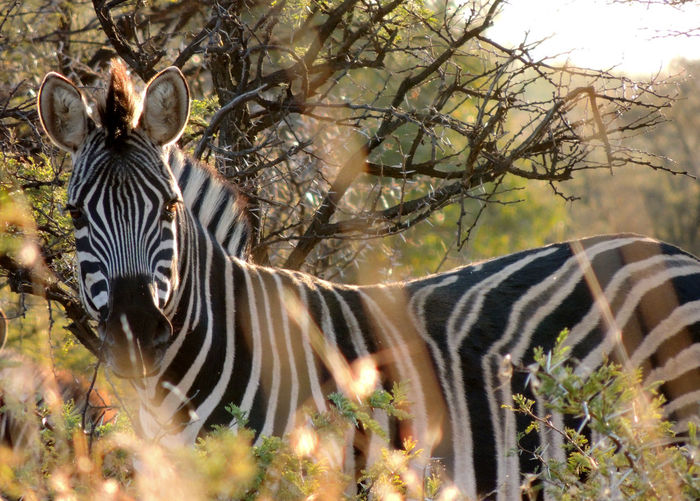 Side view of a zebra against plants