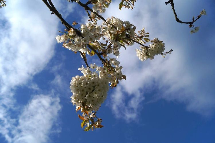 Flower Tree Beauty In Nature Sky Growth Nature Springtime Fragility White Color Cloud - Sky Day Freshness No People Blooming Outdoors Freshness Plant Flower Head Beauty In Nature