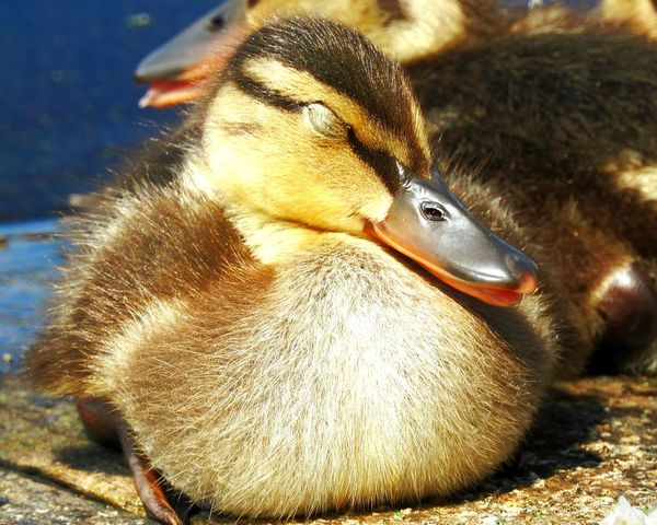 Animal Themes Animals In The Wild Animal Wildlife No People Nature One Animal Day Swimming Close-up Water Bird Outdoors Duck Ducks😄 Ducks Duck Baby Sunbath Sunbathing Sleeping Chillin' Chill Mode Chillout Cute Cute♡ Happiness Paint The Town Yellow