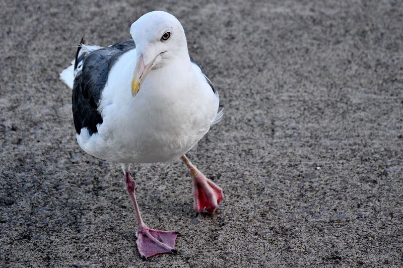 Seagull Hurt Leg Bird One Animal Wharf Seaside