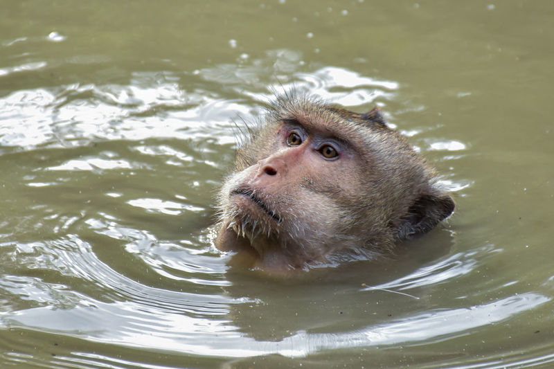 Animal Themes Animal Wildlife Animals In The Wild Close-up High Angle View Lake Mammal Monkey Nature One Animal Rippled Swimming Water Waterfront