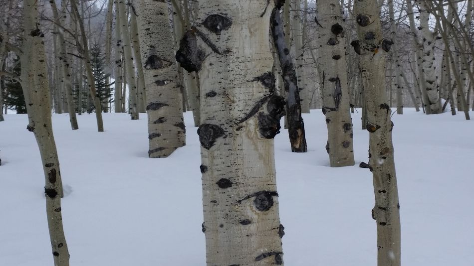 Snow Winter Cold Temperature Hanging Nature Outdoors Day Close-up No People Good Life Makesmesmile Enjoying Life Nature Aspen Trees Aspen Colorado Photography