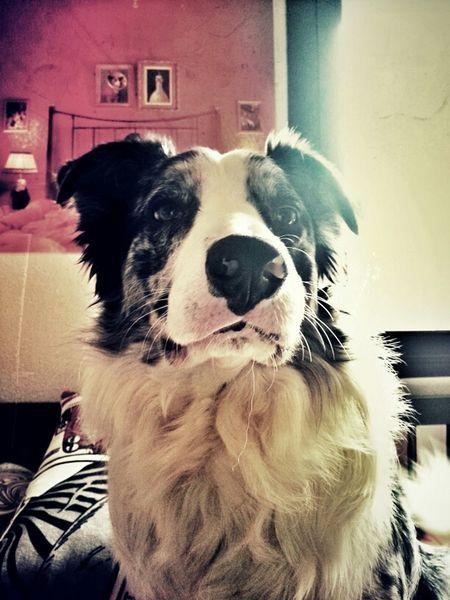 My Dog Border Collie Samsung Galaxy Note II Movilgrafias