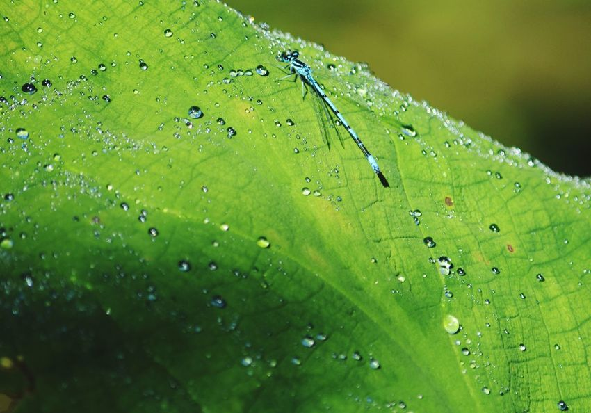 Green Color Drop Nature Wet Water EyeEmNewInHere EyeEmNewHere. Outdoors Day Leaf Close-up Freshness Fragility Springtime Backgrounds Animal Themes Damselfly DamselfliesSpring Has Arrived Beauty In Nature Freshness Cornwall, UK. Cornwall Photography Damselfly On Plant EyeEmNewHere