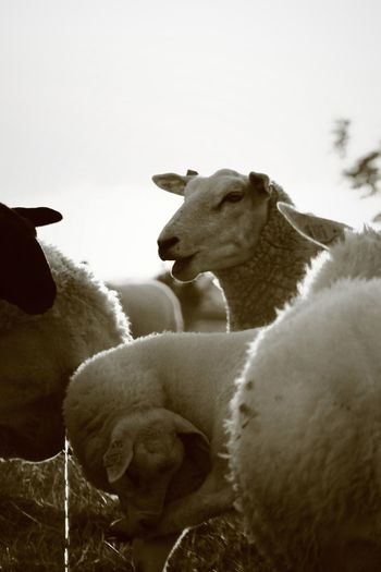 What RRR You Doing?! Animal Behavior Animal Head  Animal Themes Black And White Blacksheep Commenting Day Domestic Animals Herbivorous Herdofsheep No People Sheep Ranch Sheepheads Sheeps Urinating Wooly Zoology Monochrome Photography
