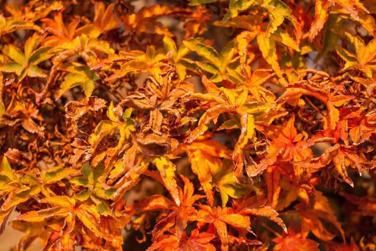 Autumn Beauty In Nature Bonsai Bonsai Tree Change Close-up Day Dry Flower Flower Head Fragility Growth Leaf Maple Maple Leaf Nature No People Orange Color Plant Red
