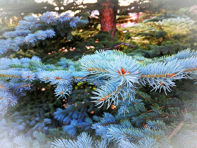 Growth Nature Fragility No People Close-up Beauty In Nature Tree Outdoors Freshness Fir Tree Evergreen Tree Colorado Google Pixel XL Beauty Of Nature Beauty Around Me