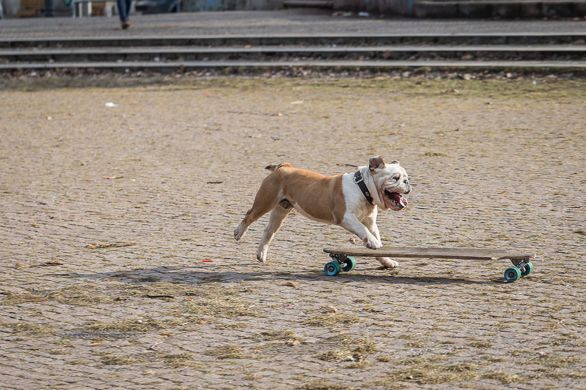 Animal Themes Day Dog Dog Makes Skateboarding Domestic Animals English Bulldog Mammal No People One Animal Outdoors Pets Skateboard Skateboarding