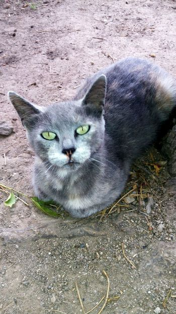 Gato Gris Nature Green