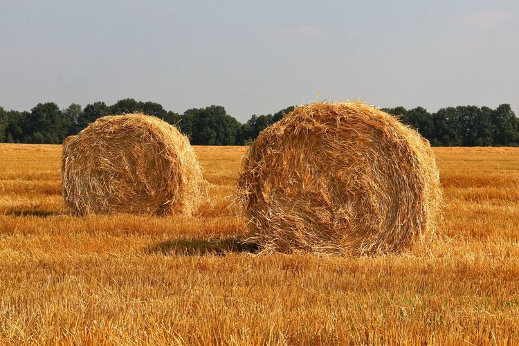 crop is harvested Agriculture Bale  Beauty In Nature Crop  Cultivated Land Day Farm Field Hay Horizon Over Land Landscape No People Outdoors Rolled Up Rural Scene Scenics Sky Tranquil Scene Wheat