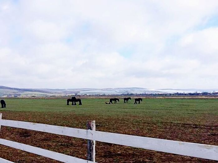 Today Morning Stable Horses Friesians Black LoveThem  LoveRiding Horse