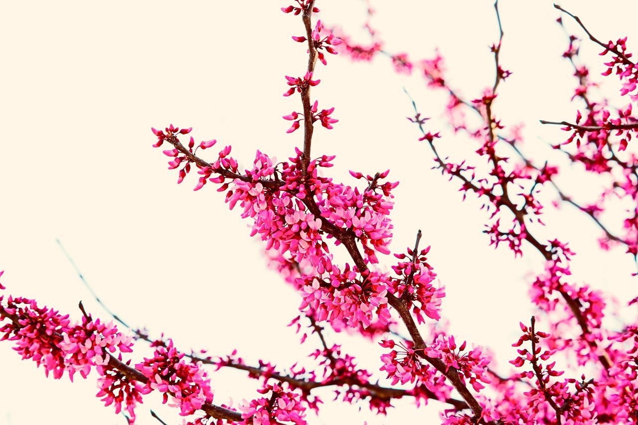 plant, tree, sky, flower, flowering plant, growth, beauty in nature, low angle view, branch, pink color, freshness, nature, blossom, clear sky, fragility, no people, vulnerability, springtime, outdoors, close-up, cherry blossom, cherry tree, purple, spring