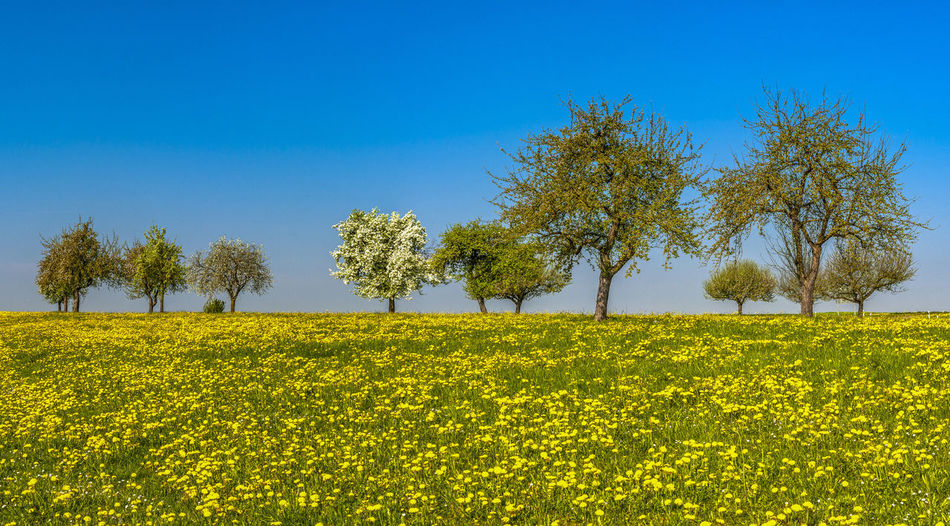 GERMANY. Wild Apple trees in blossom in a meadow of dandelions Germany, Beauty In Nature Plant Tree Landscape Sky Scenics - Nature Environment Clear Sky Rural Scene Blossom Tree Spring Agriculture Meadow Orchard Panorama Blue Sky Copy Space In Sky Growth Flowers Meadow Dandelions Yellow Tranquility No People