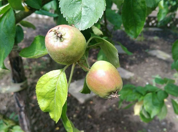 Apples Apple Tree Fruit Photography Freshness Taking Photos Natural Vitamins Sungrown Healty Food Nature Garden Photography Seasonscollection Growth Jummy